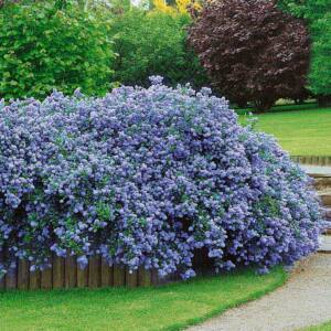 Ceanothus thyrsiflorus var. repens – Terülő kék virágú táskavirág