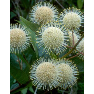 Cephalanthus occidentalis – Gombvirág cserje