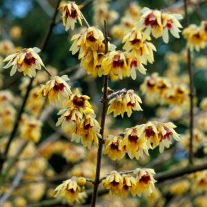 Chimonanthus praecox – Illatos tündérfa