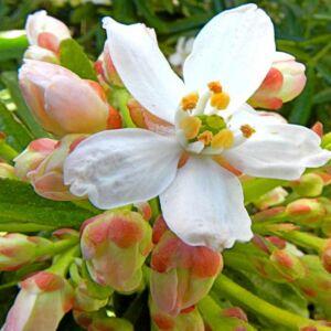 Choisya ternata 'Aztec Pearl' – Mexikói narancsvirág
