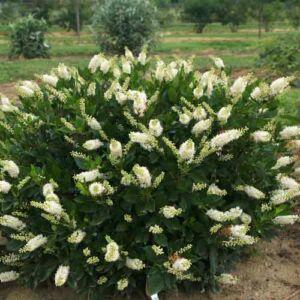 Clethra alnifolia – Fehérvirágú borscserje
