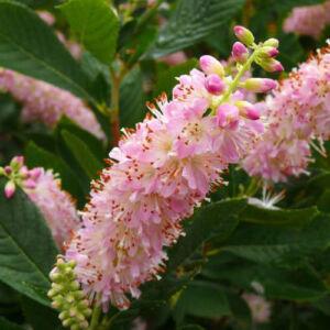 Clethra alnifolia 'Pink Spire' – Borscserje