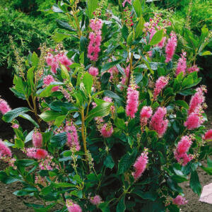 Clethra alnifolia 'Rosea' – Borscserje