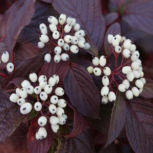 Cornus alba 'Siberian Pearls' – Piros vesszős som