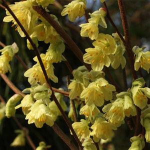 Corylopsis pauciflora – Díszmogyoró