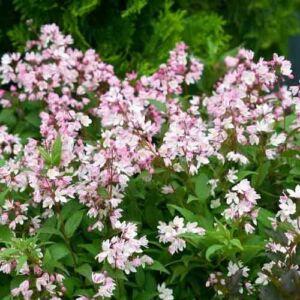 Deutzia gracilis 'Rosea' – Rózsaszín virágú gyöngyvirágcserje
