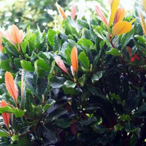 Eriobotrya japonica 'Coppertone' – Japán naspolya