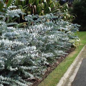 Eucalyptus pulverulenta 'Baby Blue' – Kék lombú eukaliptusz