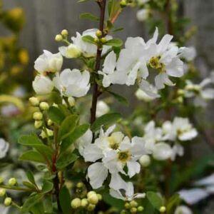 Exochorda racemosa 'Niagara'® – Dúsvirágú gyöngycserje