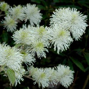 Fothergilla major – Csillagszőrű bóbitacserje