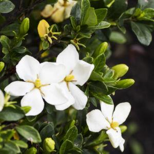 Gardenia jasminioides 'Kleim's Hardy' – Illatos gardénia