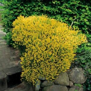 Genista lydia – Sárgavirágú rekettye