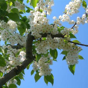 Halesia carolina – Hóvirágfa