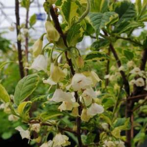 Halesia monticola 'Variegata' – Tarka levelű hegyi hóvirágfa