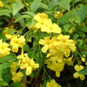 Jasminum humile – Alacsony jázmin