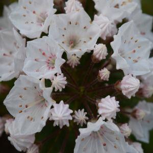 Kalmia – Pompás hegyi rododendron (fehér)