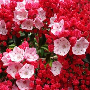 Kalmia – Pompás hegyi rododendron (piros)