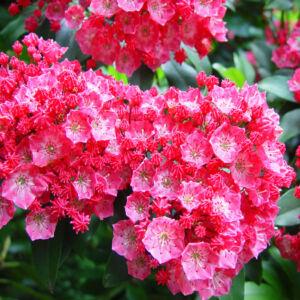 Kalmia – Pompás hegyi rododendron (rózsaszín)