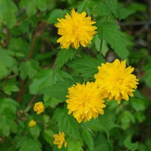Kerria japonica – Boglárkacserje