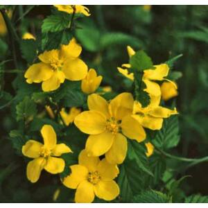 Kerria japonica 'Golden Guinea' - Szimpla virágú boglárkacserje
