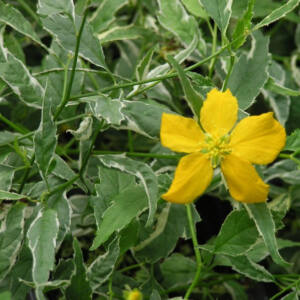Kerria japonica 'Picta' – Tarkalevelű boglárkacserje