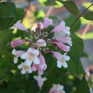 Kolkwitzia amabilis 'Rosea' – Rózsaszín virágú viráglonc