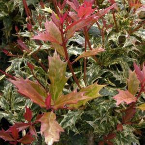 Osmanthus heterophyllus 'Goshiki' – Tarkalevelű illatvirág