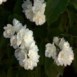 Philadelphus 'Bouquet Blanc' – Teltvirágú jezsámen
