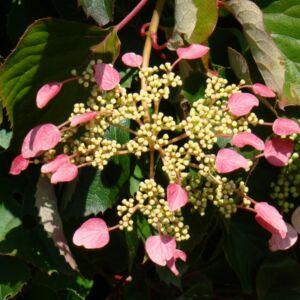 Schizophragma hydrangeoides 'Roseum' – Japán kúszóhortenzia
