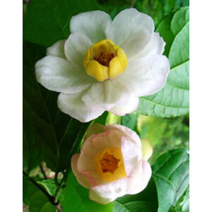 Sinocalycanthus chinensis – Kínai fűszercserje