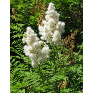 Sorbaria sorbifolia – Tollas gyöngyvessző