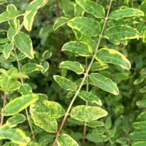 Symphoricarpos orbiculatus 'Follis Variegatus' – Tarka hóbogyó