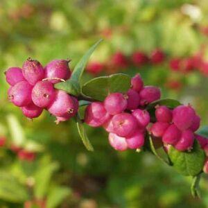 Symphoricarpos x doorenbosii 'Magic Berry' – Hóbogyó
