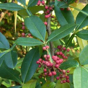 Zanthoxylum alatum – Tüskéssárgafa, Nepáli bors