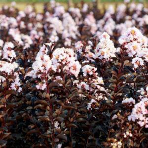 Lagerstroemia 'Black Solitaire - Blush' - Bordó lombú, halvány rózsaszín virágú kínai selyemmirtusz