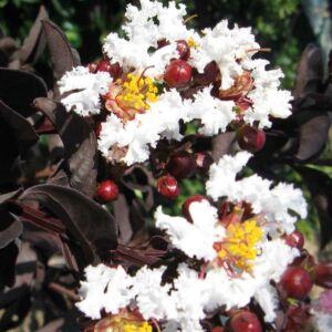 Lagerstroemia 'Black Solitaire - Pure White' - Bordó lombú, fehér virágú kínai selyemmirtusz
