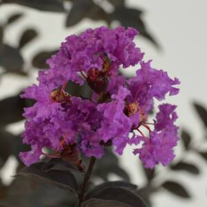 Lagerstroemia 'Black Solitaire - Purely Purple' - Bordó lombú, lila virágú kínai selyemmirtusz