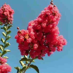 Lagerstroemia indica 'Grand Cru' – Kínai selyemmirtusz