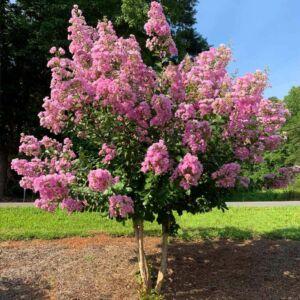 Lagerstroemia indica 'Hopi' – Kínai selyemmirtusz (fényes rózsaszín)
