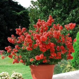 Lagerstroemia indica 'Petite Red' – Kínai selyemmirtusz