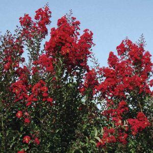 Lagerstroemia indica 'Red Rocket' – Kínai selyemmirtusz