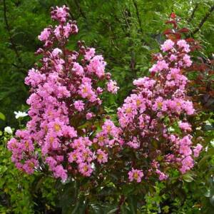 Lagerstroemia indica 'Rhapsody in Pink' - Kínai selyemmirtusz