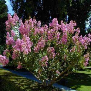 Lagerstroemia indica 'Rose Clair' – Kínai selyemmirtusz