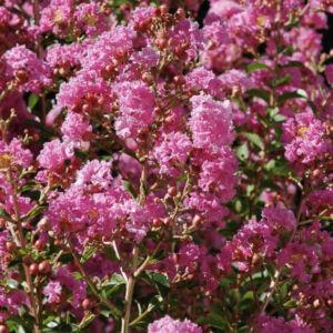 Lagerstroemia indica 'Rosea' – Kínai selyemmirtusz