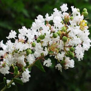 Lagerstroemia indica 'White' – Kínai selyemmirtusz