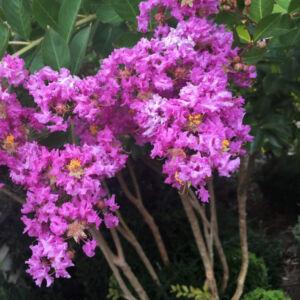 Lagerstroemia indica 'Wichita' – Kínai selyemmirtusz (lila)