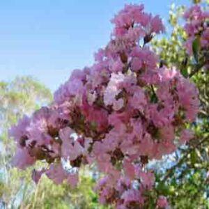 Lagerstroemia indica 'Yuma' – Kínai selyemmirtusz