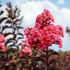Lagerstroemia 'Shell Pink' – Kínai selyemmirtusz
