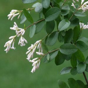Ligustrum obtusifolium – Tompalevelű fagyal