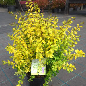 Ligustrum ovalifolium 'Lemon and Lime' – Sárga levelű télizöld fagyal